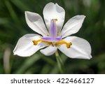 Close Up Of Iridaceae Flower  ...