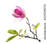 Pink Magnolia Flowers Isolated...