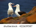 Small photo of Pair of birds Black-browed albratros. Beautiful sea bird sitting on the cliff. Albatross with dark blue water in the background, Falkland Island. Albatross with open bill. Albatross courtship.