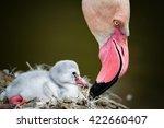 Flamingos  Phoenicopteridae ...