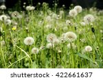 Mature Dandelions On A Lawn In...