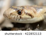 California Gopher Snake Close Up