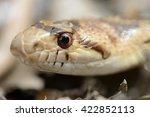 California Gopher Snake Close Up