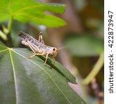 Small photo of Locust grasshopper (Acrididae) sitting on a healthy green leaf in terrarium