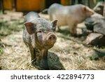 cute little pig with a dirty...   Shutterstock . vector #422894773