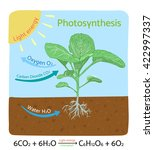 photosynthesis process diagram. ... | Shutterstock .eps vector #422997337