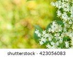 Flowers Elderberry  Sambucus...