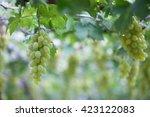 green vineyards  grapes  green... | Shutterstock . vector #423122083