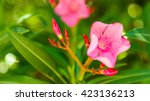 Pink Oleander Flower Close Up...