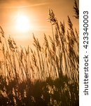 golden sunset and reed grass in ... | Shutterstock . vector #423340003