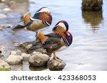 Two Male Mandarin Ducks  Aix...