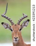 Male Impala With One Horn...