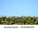 Neatly Cut Green Holly Hedge...
