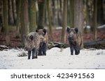 wild boars on a white snow wild ... | Shutterstock . vector #423491563