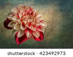 drawing oil painting dahlia... | Shutterstock . vector #423492973