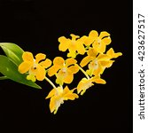 Small photo of Vanda denisoniana orchid. Vanda hybrids orchids. yellow orchids. isolated on white background
