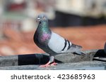 Male Pigeon Standing On Roof...