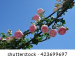 pink roses under blue sky | Shutterstock . vector #423699697