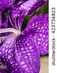 Small photo of Macro Purple Vanda Orchid