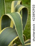 Small photo of leaves of succulent plant agave americana