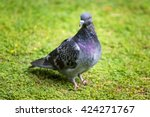 Beautiful Pigeon Bird Standing...