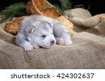 cute little gray siberian husky ... | Shutterstock . vector #424302637