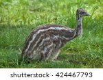 Two Month Old Emu  Dromaius...