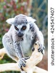 Small photo of Ring-tailed lemur aka Lemur catta face close up portrait on green background