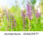 Lupin Flowers  In The Summer...