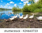 white ducks next to the pond in ... | Shutterstock . vector #424663723