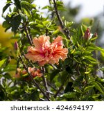 showy pink suffused with orange ... | Shutterstock . vector #424694197