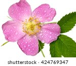 Dog Rose  Rosa Canina  Flower...
