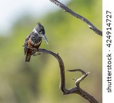 Small photo of African giant kingfisher in Kruger national park, South Africa ; Specie Megaceryle maxima family of Alcedinidae