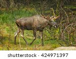 Small photo of European Moose, Alces alces alces, bull (male) from side view in scandinavian forest. Autumn,Europe.