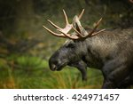 Small photo of Close-up portrait of european Moose, Alces alces alces, bull (male) from side view in scandinavian forest. Autumn,Europe.