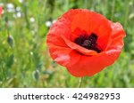 Red Poppy Blooming On Field....