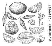 vector hand drawn lime or lemon ... | Shutterstock .eps vector #425199997