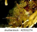 Small photo of Soft Coral Spider Crab (Achaeus spinosus)