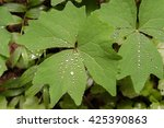 Small photo of Water droplets after rain on vanilla leaf (Achlys triphylla) leaves (soft focus background) along the Wonderland Trail in Mt. Rainier National Park, Washington State, USA