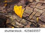 Small photo of Orange mushrooms Calocera vistsosa surrounded by rotten wood