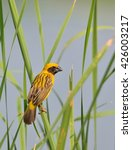 Small photo of Asian golden weaver (Ploceus hypoxanthus), a beautiful male bird, in natural habitat of Thailand.
