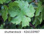 Grape Leaves With Drops Of Rai...