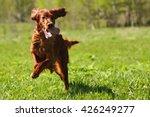 Lucky Dog Irish Setter Playing...