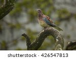 Small photo of African olive pigeon or Rameron pigeon.(Columba arquatrix).