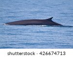 a balaenoptera physalus  the... | Shutterstock . vector #426674713