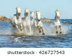 White Camargue Horses Gallopin...