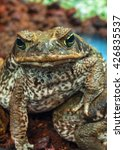 Small photo of live poisoned toad (aga) looking in the camera
