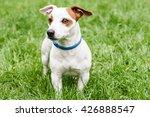 blue anti tick and flea collar... | Shutterstock . vector #426888547