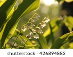 Lily Of The Valley Lit By The...