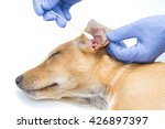 vet check and clean the dog's... | Shutterstock . vector #426897397